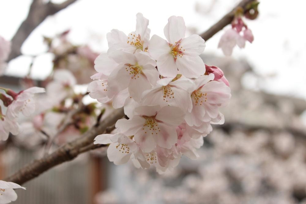Sakura in Kanazawa @I'll Make It Myself
