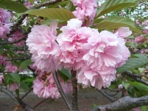 Delicious yae-zakura (八重桜) Photo: マリマリ on Wikipedia.
