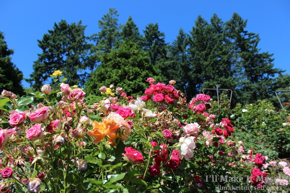 A hedge of many different kinds of pink, orange, and yellow roses blooming profusely on a sunny day.