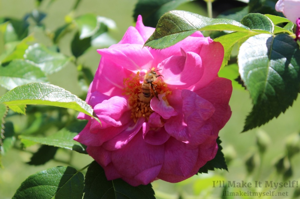 Close up of a bee in a magenta rose.