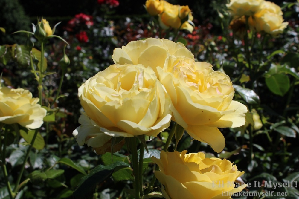 Close up of a bunch of yellow roses.