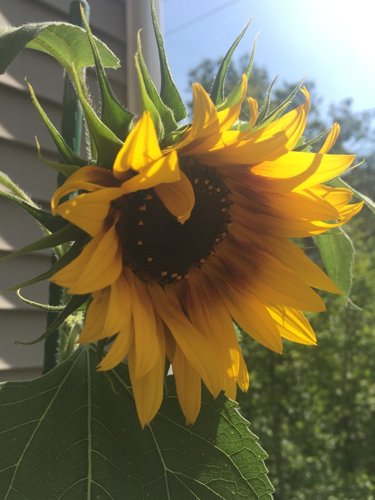A close-up of a sunflower with a blue sky in the background.